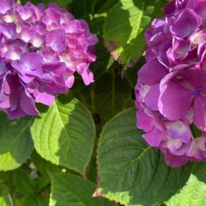 自分の基本・紫陽花。