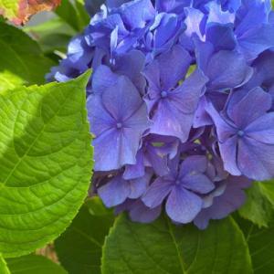 準備・紫陽花