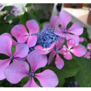 笑うこと・ガクアジサイの花。