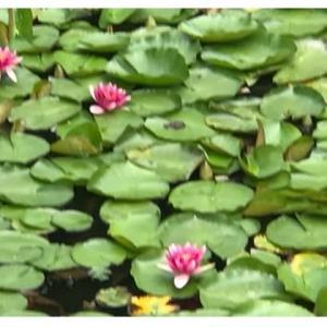 一歩・睡蓮の花。