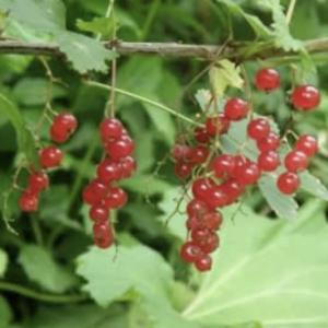 カリンズの赤い実。