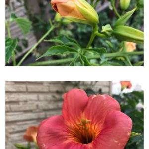 日々を大切に・ノウゼンカズラの花。