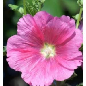 タチアオイの花。