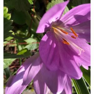イヌサフラン・コルチカムの花