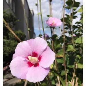 笑い・ムクゲの花
