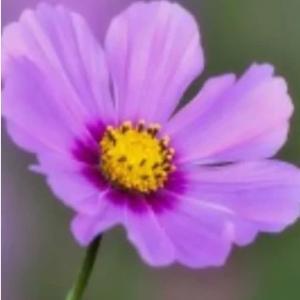 大切な人・コスモスの花