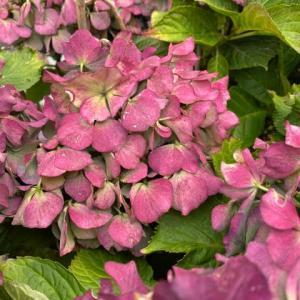 秋色に染まった紫陽花