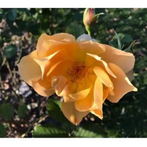 名残りの薔薇の花