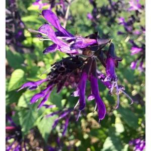 人生・ブルーセージの花