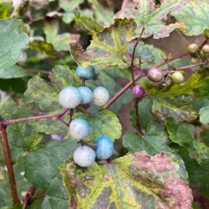 我が家の野葡萄