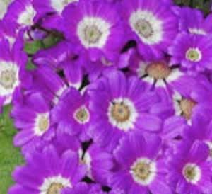 願えば・サイネリアの花
