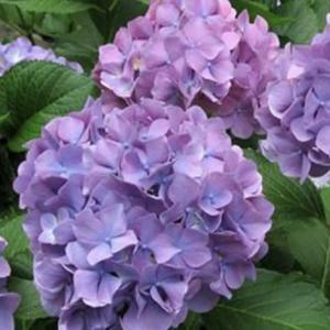人生で・紫陽花の花