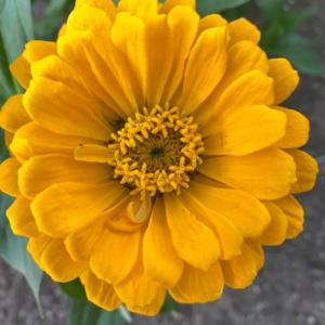 ジニア・百日草の花