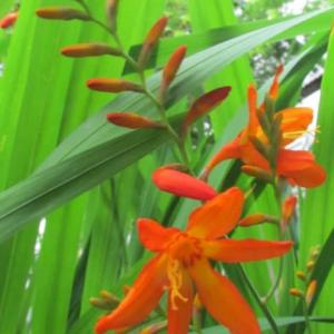モントプレチアの花