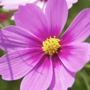 感謝を・コスモスの花