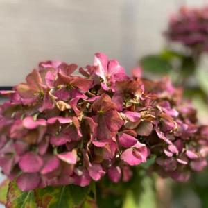 秋色に染まった紫陽花の花