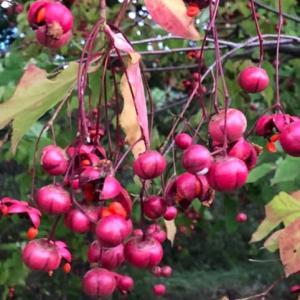 札幌の秋・真っ赤な実