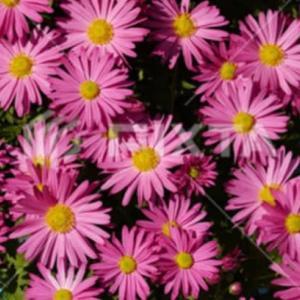 迷ったら・菊の花