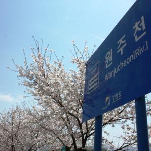 江原道にも春が来た!いま江原道は桜満開!