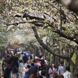 延世大原州キャンパスの桜並木は葉桜に~チンダルレ、ママコナは満開!そして貯水池の中島は真っ白け…