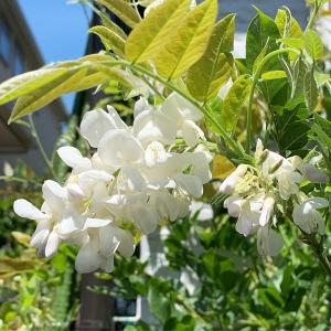 藤の狂い咲き