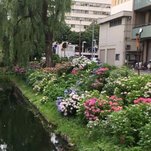 鶴が池の紫陽花