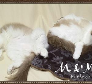 猫姉妹◆【 体重測定 】 6歳2カ月♀ラグドール