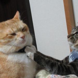 「過保護のタビちゃん」 我が家の猫たちは幸せだと思います
