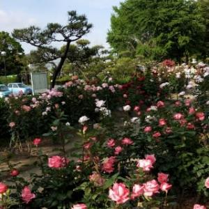 薔薇盛り♪