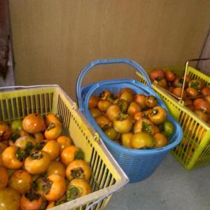 二年に一度の柿の豊作