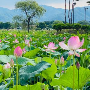 【京畿道・ヤンピョン】세미원の「연꽃축제(蓮の花祭り)」