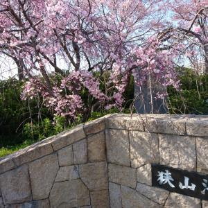 狭山池と南海高野線沿線の桜