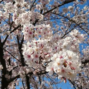 桜の樹の下でひと休み