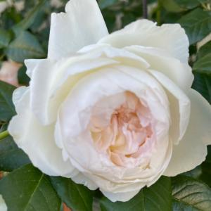 薔薇のある生活。