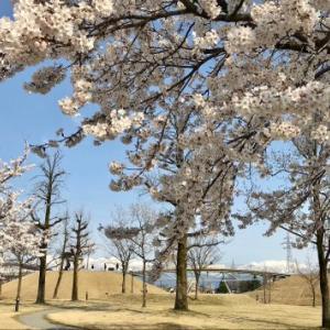 桜さく~♬