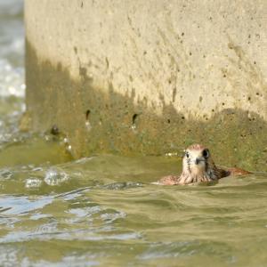 川に落ちたチョウゲンボウの雛