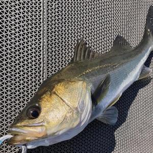 【 昨日の確認 】【 2日間の連続釣行はチャンスを数倍にアップ 】