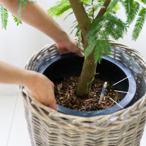 ★大型観葉植物が枯れる原因 ! 水やりの頻度がわからない (インテリアと暮らしのヒントより)