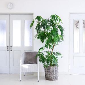★【我が家の暮らし】観葉植物の育て方 (エバーフレッシュの場合)