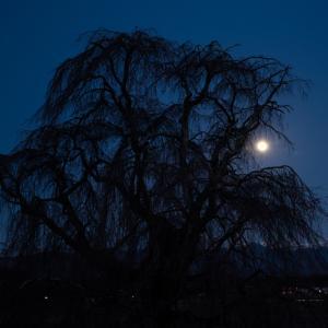 祖霊の桜月