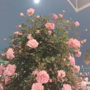 今年可愛く咲いてくれたバラのベストショット♪第一弾です♪