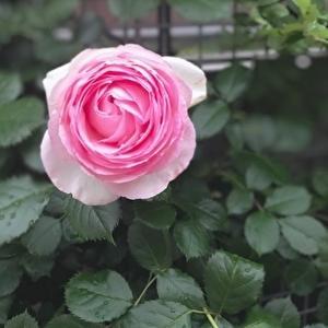 今年可愛く咲いてくれたバラのベストショット♪第二弾です