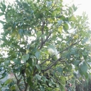 レモンの木とかバラのスタンダード仕立てとか