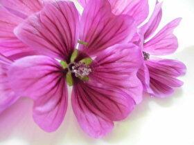 レモン水を入れると青からピンクへ変わる不思議なハーブティ♪コモンマロウのお花