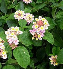 可愛いランタナの蜜が大好きな青アゲハ蝶♪