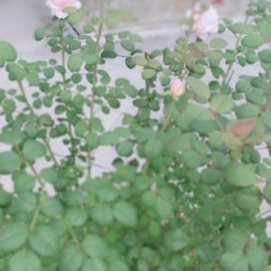 クイーンオブスウェーデンの開花とかブルーキャットミントウオーカーズロウとか