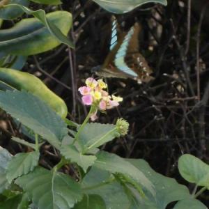 まるで絵画のようなランタナとアゲハ蝶