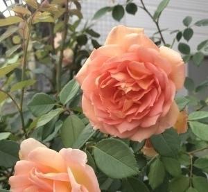 とても上品で美しいレディオブシャーロットの開花♪