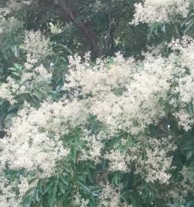 とても美しいシマトネリコのお花