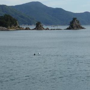 豊後二見浦の夫婦岩でイルカに出会った。